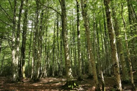 depositphotos_10196452-stock-photo-beech-tree-forest